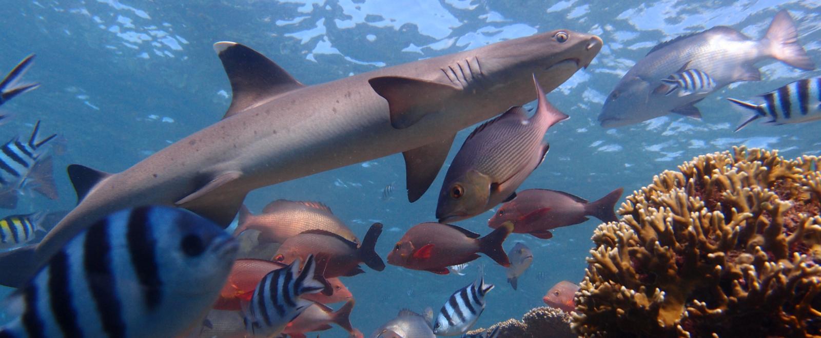 Tiburón observado por nuestros voluntarios de conservación en Fiyi.